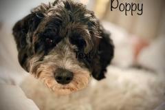 Poppy12