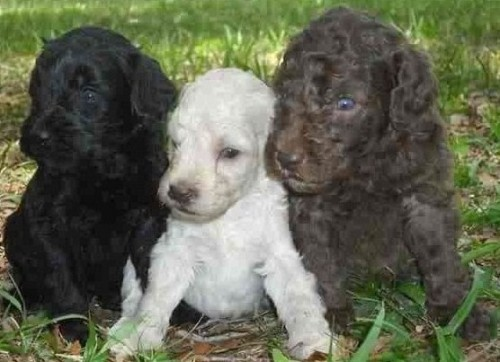 Authentic Australian Labradoodles Puppies